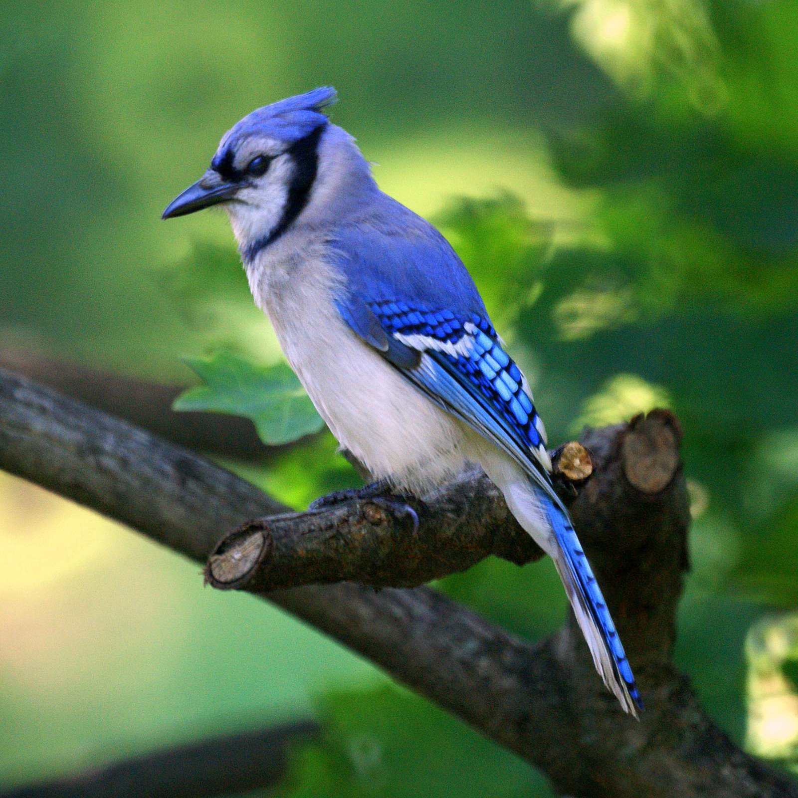 The blue jay canadian lovely bird basic facts Pictures of birds
