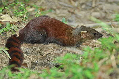 Malgasy Ring tailed Mongoose