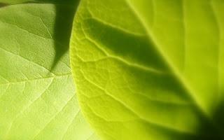 Vista leaf HD Wallpaper