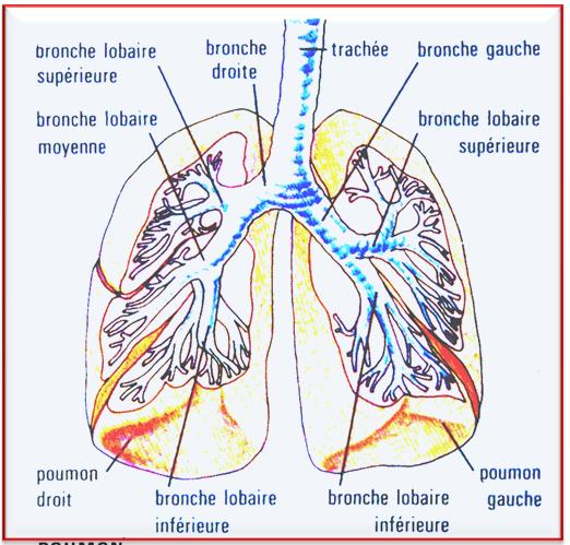 Les bronches