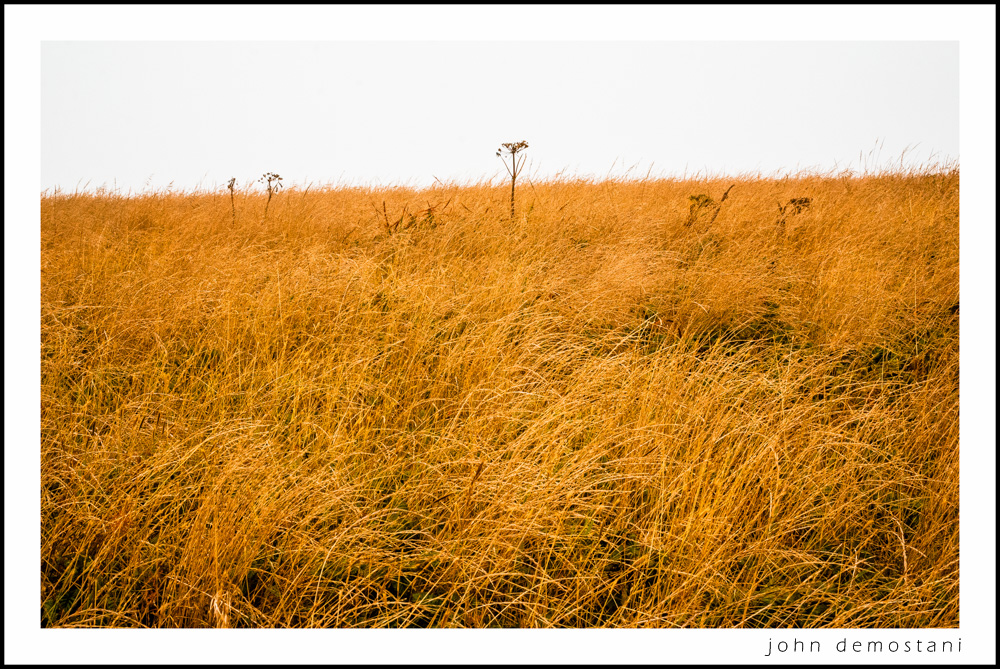 The Golden State, California Gold, Point Reyes, Gold Grass, bird photography, nature, landscape photography, pastoral scene