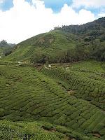 Boh Tea planation, Cameron Highlands