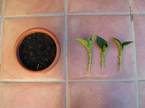 maceta-preparada-poner-esquejes-hortensia