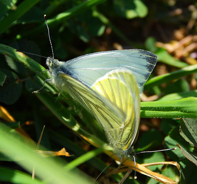 Green veined white butterfly (Pieris napi) on a grass leaf