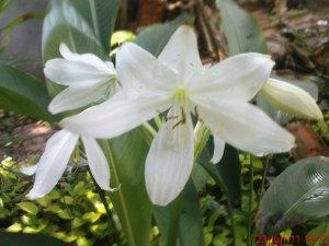 bunga bakung putih | jual tanaman  hias