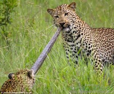 harimau bintang makan ular sawa
