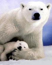 Polarni medvjedi download besplatne slike pozadine za mobitele