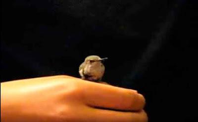 Videos de animales, Videos reflexivos, colibrí
