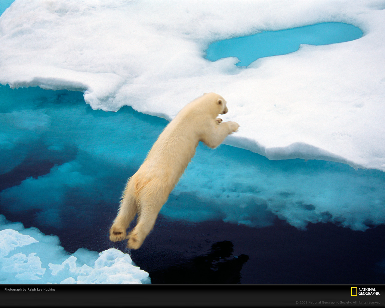http://2.bp.blogspot.com/-Emkg50onqp0/T40G1B1CpcI/AAAAAAAABf0/fIgU-jq3pzE/s1600/blue-jumping-polar-bear-national-geographic-desktop-background.jpg