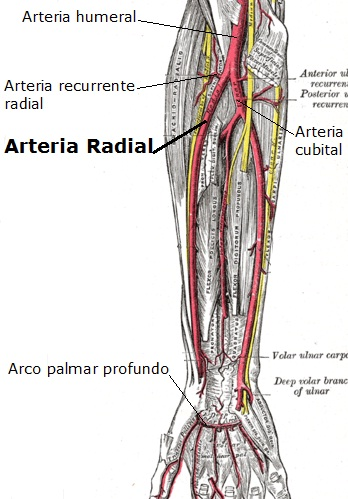 LA ARTERIA RECURRENTE RADIAL POSTERIORES ES UNA RAMA DE LA ARTERIA ...