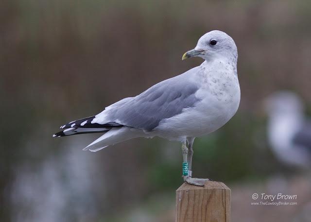 Colour Ringed, Ringing, Gulls