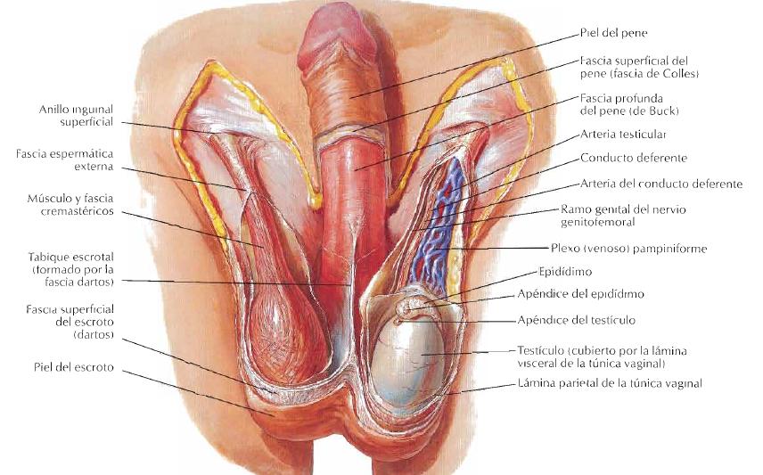 Circulación arterial del escroto y testículo   Un paseo por la ciencia