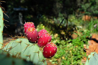 This can help you lose weight that effective with a concentrated extract of nopal cactus.