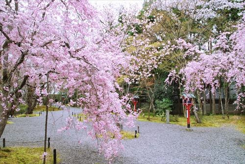 常照寺(じょうしょうじ)吉野桜