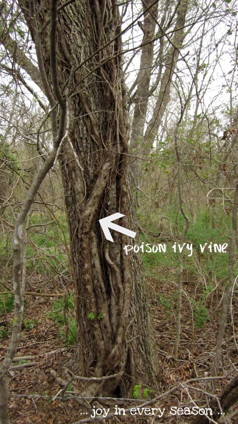 poison ivy oak sumac #11