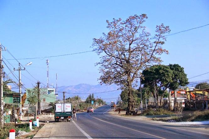 Gia Lai: Nắn quốc lộ để giữ một cây cổ thụ