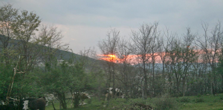 Stunning sunset behind cows