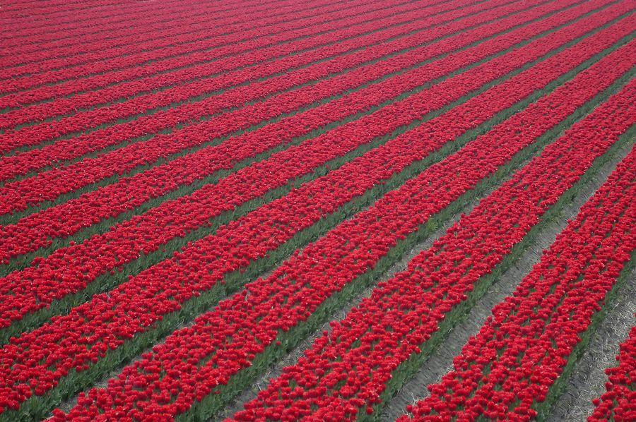 23. Tulips by Arvind Balaraman