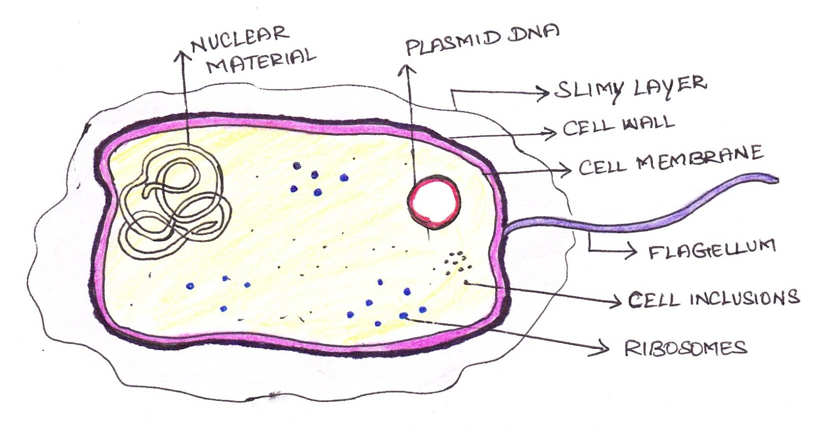 Vesicles in a human cell