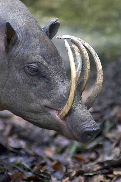 The Babirusa - 22 Bizzarre Animals You Probably Didn't Know Exist