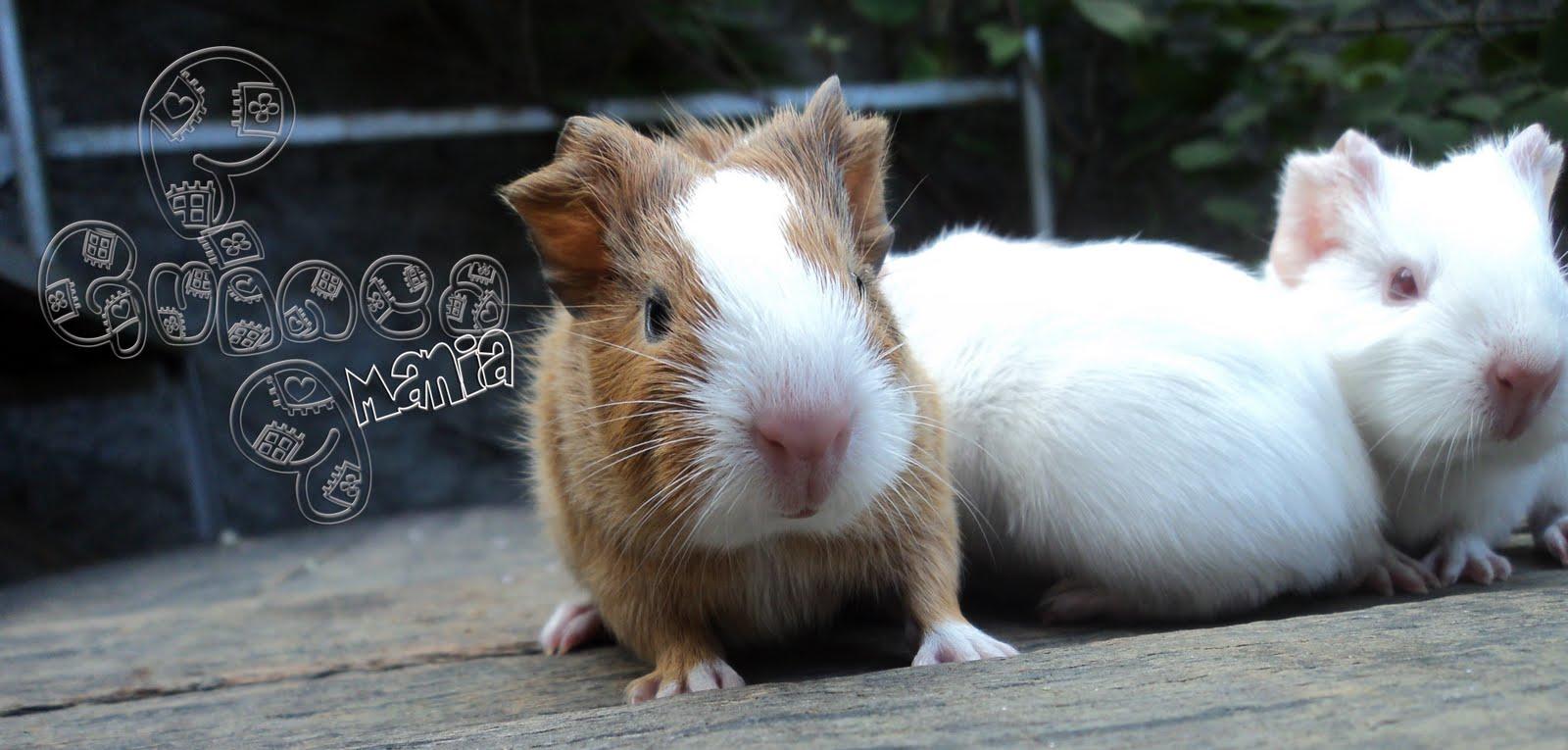 Guinea Pig Cui Cui Mania