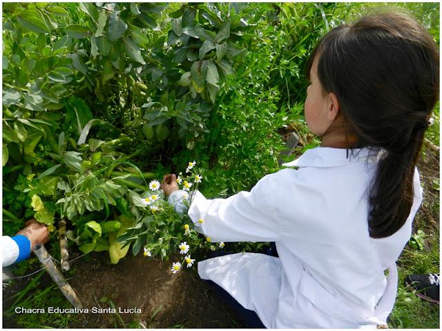 Cosechando hortalizas - Chacra Educativa Santa Lucía