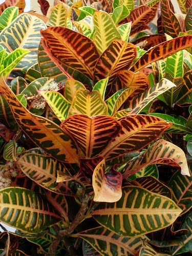 Beautiful flowers croton plant pictures meanings for Croton plant