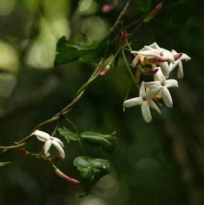 Jasminum abyssinicum Flower