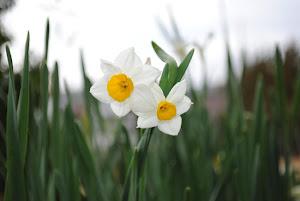 田舎 暮らし 物件 に咲く水仙