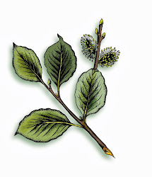 Goat Willow Illustration