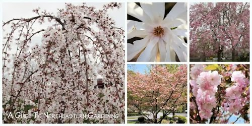A guide to northeastern gardening spring flowering trees pretty in spring flowering trees mightylinksfo