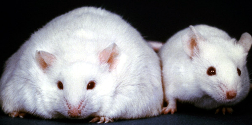 Metabolic Master Switch Discovered Underlying Obesity