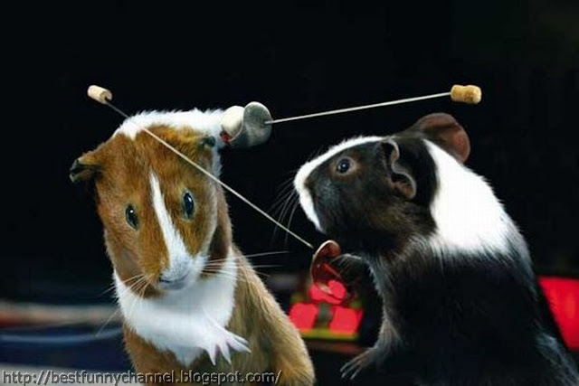 Funny Guinea pigs fencers.
