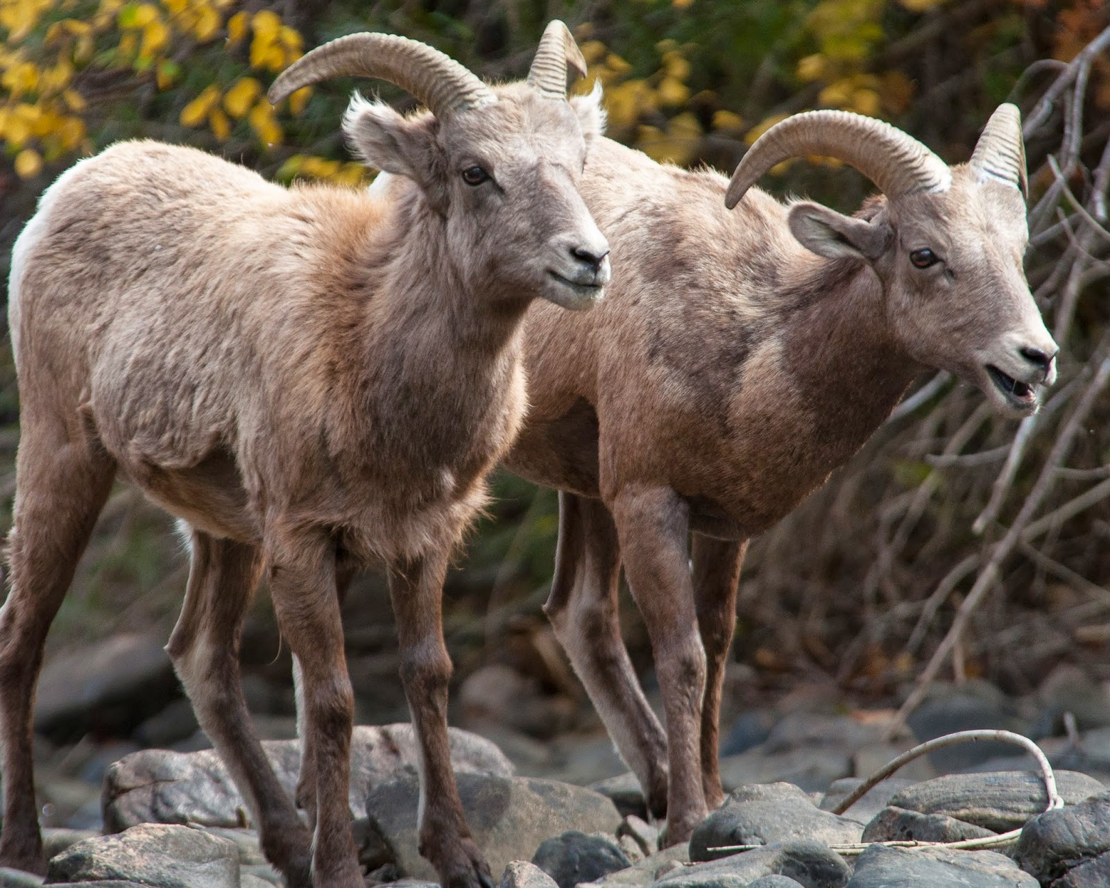 Bighorn Sheep in Waterton Canyon