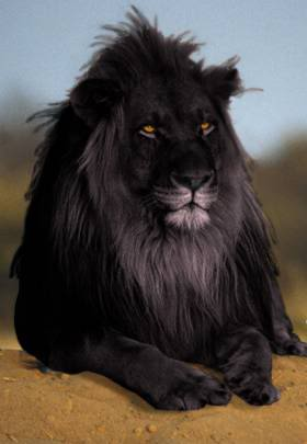 ShukerNature: FROM BLACK LIONS TO LIVING SABRE-TOOTHS - MY TOP TEN ...