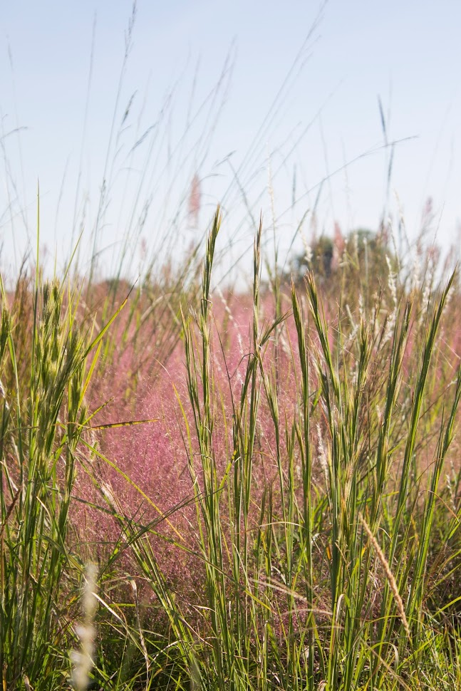 armand bayou pink muhly grass