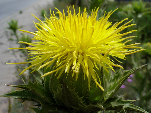 Growing hermiones garden cnicus benedictus blessed thistle the stem of the blessed thistle grows about 2 feet high is reddish slender very much branched and scarcely able to keep upright under the weight of its mightylinksfo