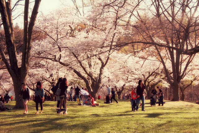 Sakura Hanami in Toronto