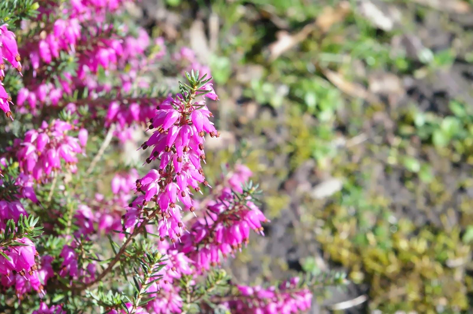 Calluna vulgaris heather ling plants blog for Calluna vulgaris
