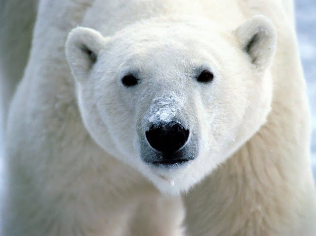 HD-Polar-Bear-Wild-animal-Wallpaper