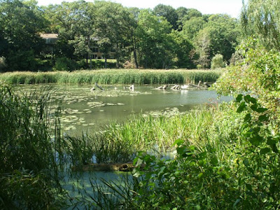 Bullrushes and lily pads at north end of Grenadier Pond by garden muses: a Toronto gardening blog