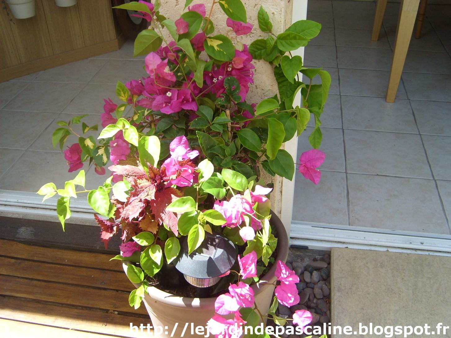 Le jardin de pascaline bouture de bougainvill e demi r ussite - Bouture de l hibiscus de jardin ...