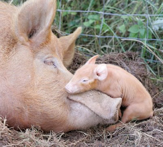 Baby Pigs In Mud Happier than a pig in mud: