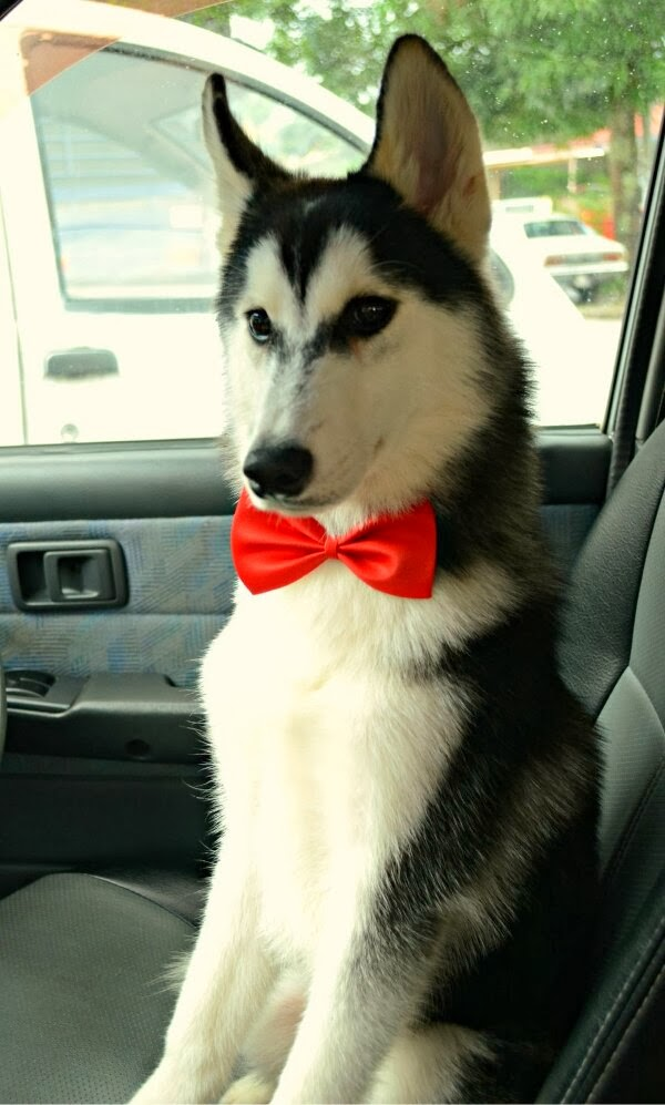 Cute dogs - part 4 (50 pics), dog pictures, husky with bowtie sits in car