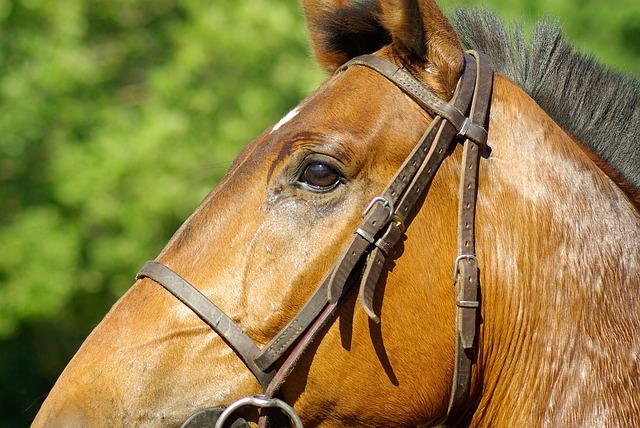 Les déficiences immunitaires du cheval
