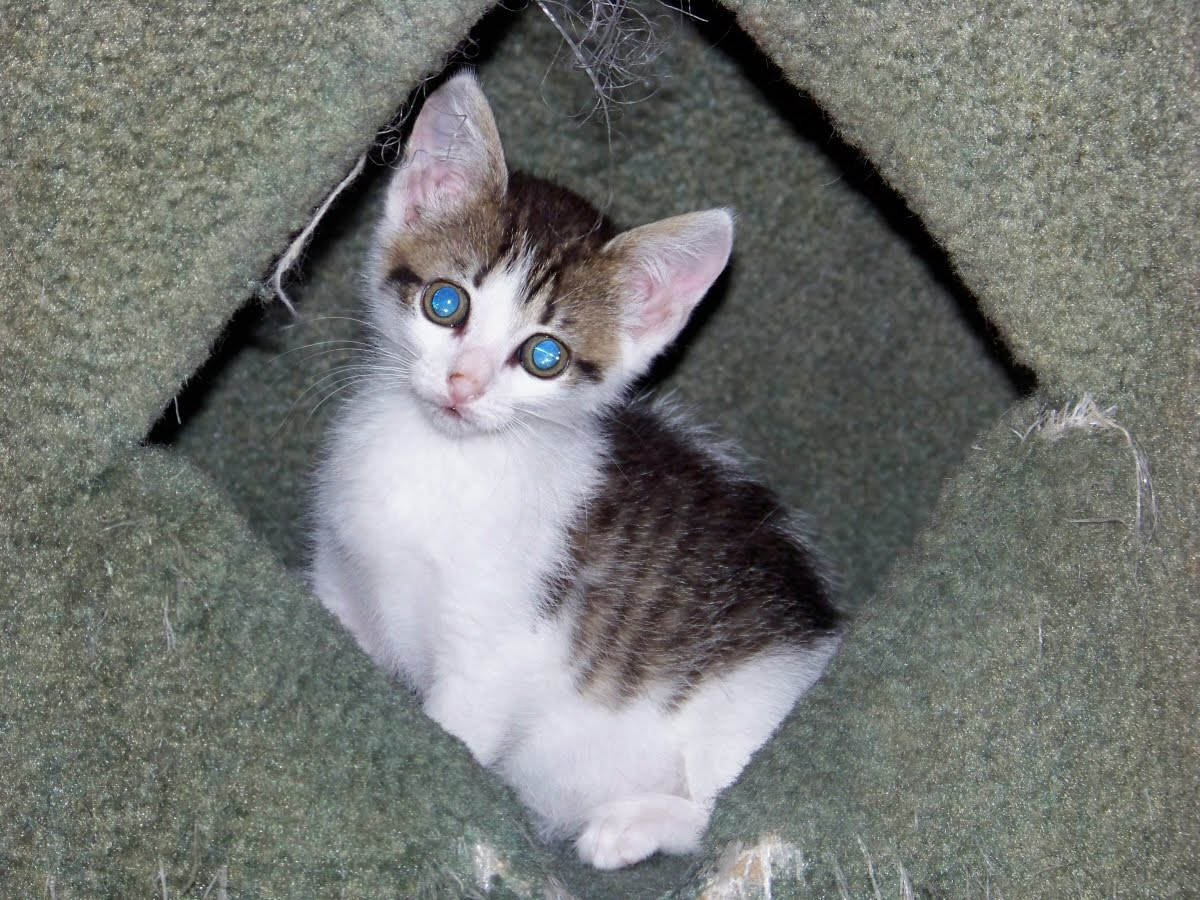 what is fading kitten syndrome