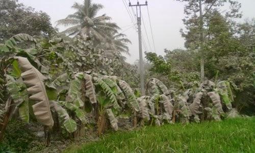 daun pisang roboh tak kuat menahan tebalnya abu vulkanik