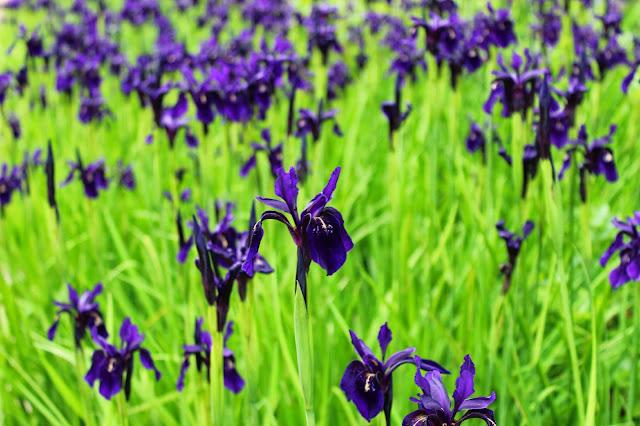 Edinburgh Botanic Gardens Irises