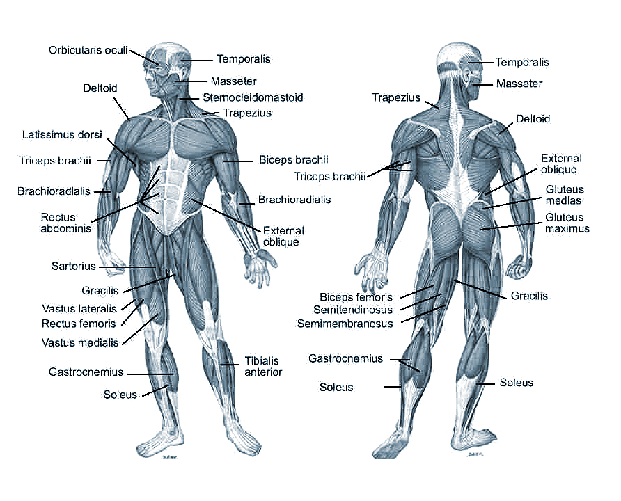 Muscles on Dance Position Diagrams