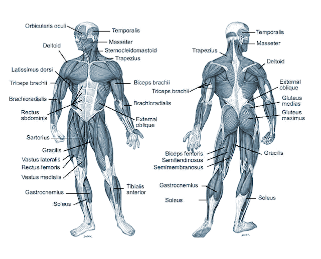 Skeletal Muscle Labeled Diagram Fitness for You...